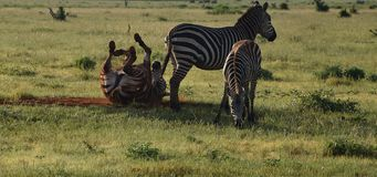 Funny animals, happy free zebras on savanna. Africa, Kenya. Zebras are several species of African equids, united by their distinctive black and white striped royalty free stock photo