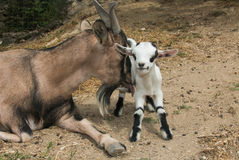 Funny animals: tibetan goat lick his son. Portrait of funny animals: tibetan goat lick his son Royalty Free Stock Photography