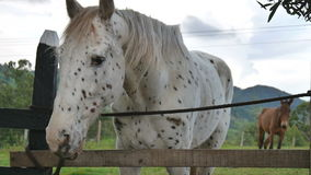 Funny appaloosa horse swinging head stock video