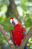Funny ara parrot Stock Images