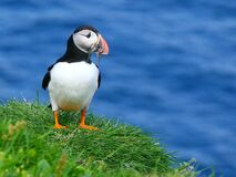 Atlantic puffin with prey in its beak. Copy space
