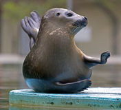 Funny attitude of one seal Royalty Free Stock Images