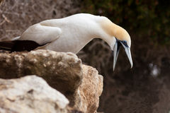 Funny Australasian Gannet with beak wide open