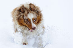 Funny australian shepherd running and enjoy snow time Royalty Free Stock Image
