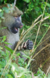 The funny baboon has found something Royalty Free Stock Image