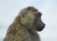 The funny baboon is looking on something Stock Images
