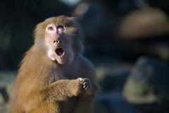 Funny baboon monkey. A funny baboon monkey looking surprised royalty free stock image