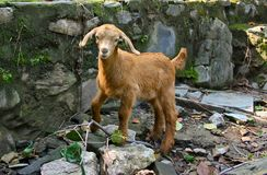 Funny baby Angora goat Royalty Free Stock Images