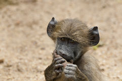 Funny Baby Baboon portrait in the Kruger Park. A funny baby Chacma Baboon with its foot in its mouth, chewing on it, making eye contact Stock Photography
