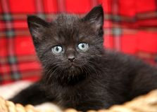 Funny baby cat kitten in wicker basket Royalty Free Stock Photos