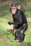 Funny Baby Chimp. Comical baby Chimpanzee standing on it's hand legs Stock Photography