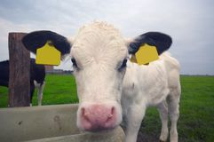 Funny baby cow Royalty Free Stock Photo