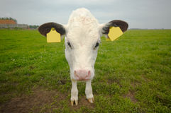 Funny baby cow Royalty Free Stock Photos