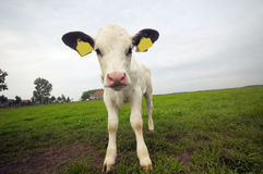 Funny baby cow Royalty Free Stock Images