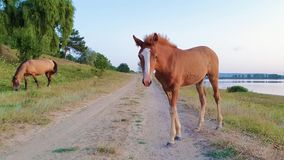 Funny baby foal looking curious and attentive to camera standing on a country road near pasture near the while hi mother mare is g