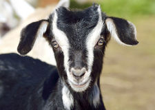 Funny Baby Goat portrait. At farm Royalty Free Stock Images