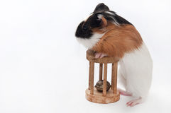 FUNNY BABY GUINEA PIG PLAYING TOY Stock Photos