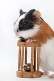 FUNNY BABY GUINEA PIG PLAYING TOY. FUNNY BABY GUINEA PIG PLAYING WOODEN TOY OVER WHITE BACKGROUND stock photography
