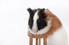 FUNNY BABY GUINEA PIG PLAYING TOY Royalty Free Stock Photos