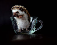 Funny Baby Hedgehog in a Cup. A funny little baby hedgehog standing in a cup royalty free stock image