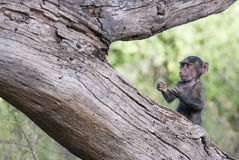 Funny baby monkey in a boxer's pose on a tree Stock Photo