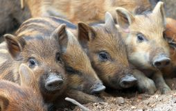 Funny baby pigs, Central European wild boar. Funny baby pigs or Central European wild boar stock photos