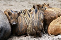 Funny baby pigs, Central European wild boar. Funny baby pigs of Central European wild boar stock photo