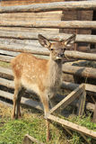 Funny baby in red deer. Enclosure Royalty Free Stock Images