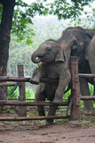 Funny Baby Thai Elephant Stock Images