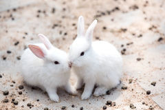 Funny baby white rabbit Stock Photo