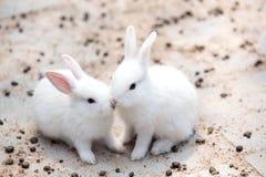 Funny baby white rabbit Stock Photo