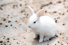 Funny baby white rabbit Royalty Free Stock Images