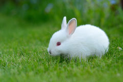 Funny baby white rabbit in grass Royalty Free Stock Photo