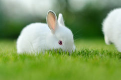 Funny baby white rabbit in grass Stock Photography