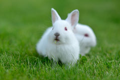 Funny baby white rabbit in grass Stock Photos
