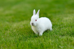 Funny baby white rabbit in grass. Funny baby white rabbit in green  grass Stock Images