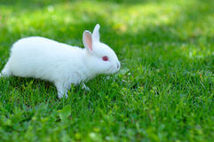 Funny baby white rabbit in grass Royalty Free Stock Image