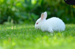 Funny baby white rabbit in grass Royalty Free Stock Photos