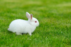 Funny baby white rabbit in grass Royalty Free Stock Images