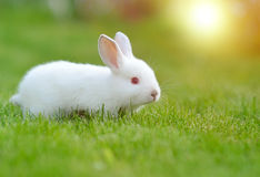 Funny baby white rabbit in grass Stock Image