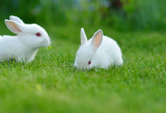 Funny baby white rabbits in grass Stock Photo