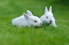 Funny baby white rabbits in grass Stock Photos