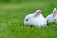 Funny baby white rabbits in grass Royalty Free Stock Photos