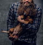 Funny badger dog in man`s curly beard. Bearded hipster male in a blue plaid shirt holds in arms brown badger dog Royalty Free Stock Photo
