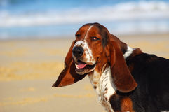 Funny Basset hound dog portrait Royalty Free Stock Image