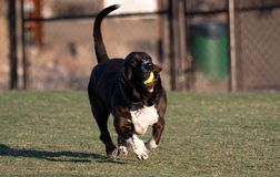 Funny basset hound running with a ball Stock Photography