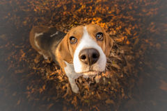 Free Funny Beagle Dog Stock Photography - 80456792