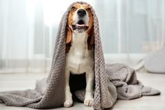 Funny beagle dog with blanket. On floor indoors stock images