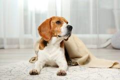 Funny beagle dog with blanket lying on rug. Indoors royalty free stock image