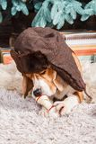 Funny beagle dog in brown fur hat with ear flaps lies on fur carpet, holding and eating artificial bone near New Year tree. Funny beagle dog in russian style Royalty Free Stock Image